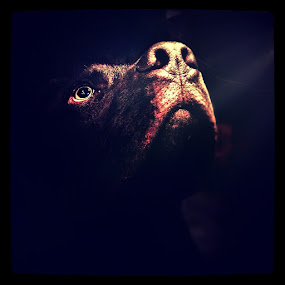 Junior by Mansi Bhatia - Animals - Dogs Portraits ( iphoneography, dog, light )