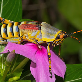 Elegant Grasshopper by Warren Keith Dick - Animals Insects & Spiders ( bugs, beautiful, rainbow, pink, grasshopper, insects,  )