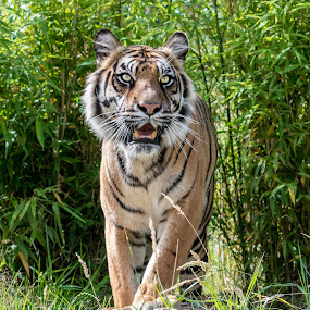 The Tigress by Andy Smith - Uncategorized All Uncategorized ( tigress, big cat, wild, cat, tiger, green, wildlife, teeth, eyes, zoo, safari, paws, smile,  )