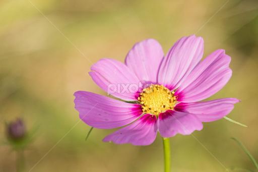 Pink cosmo single flower flowers pixoto pink cosmo by judy florio flowers single flower mightylinksfo