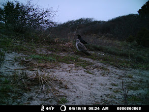 Photo: Hmmm..  A crow and a N. Harrier!