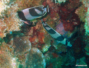 Photo: Banded Butterflyfish