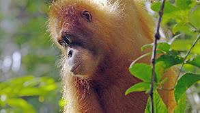 The Last Orangutan Eden thumbnail