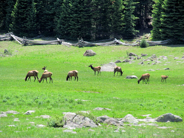 Elk grazing at Big Flat