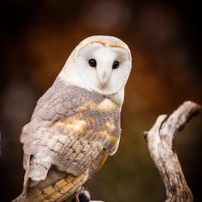 Barn Owl 4 by Chris Martin - Animals Birds ( bird, birds of prey, nature, barn owl, owl, wildlife, birds, owls,  )