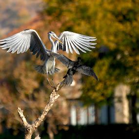 Move!! by Christo W. Meyer - Animals Birds ( bird, #cormorant, #heron, wildlife, animal,  )