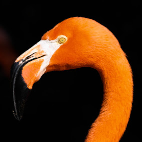 Flamingo in Flordia by Erin Heavilin - Animals Other