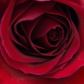 Heart of the Rose by Camruin Kilsek - Nature Up Close Flowers - 2011-2013 ( red rose )