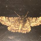 Porcelain Grey Moth