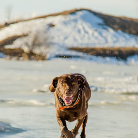 Incoming by Laura Gardner - Novices Only Pets ( labraweimer, rescue dog, winter, ice, airborn, running,  )