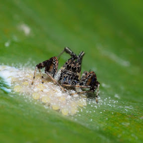    Protecting her eggs is 1st priority of every mother    by Indra Maji - Animals Insects & Spiders