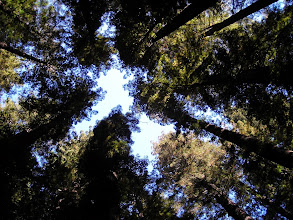 Photo: Looking up at the canopy in a ring of Coast Redwoods, Founders Grove,Redwoods State Park, CA