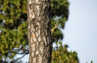 Photo: woodpecker climbing tree