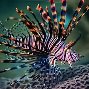 LION FISH by Fammz Fammudin - Animals Fish ( water, fish, sea, animal )