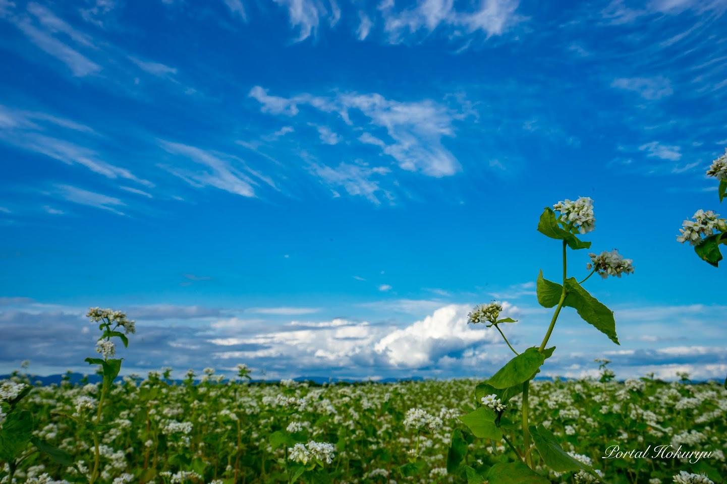 ちりばめられた白い蕎麦の花