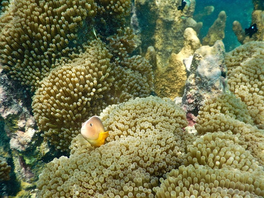 I am Nemo by Pier Riccardo Vanni - Animals Fish