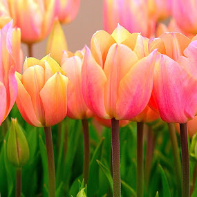 Peach  Tulips by Sherri Woodbridge - Flowers Flower Gardens ( peach color tulips, tulips, flowers, garden,  )