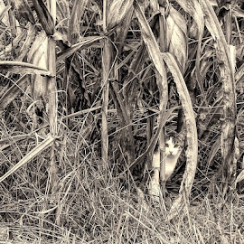 Cat in the Corn by Karen Kirchner - Animals - Cats Playing ( field, cat, yellow, landscapes, corn, animal, halloween )