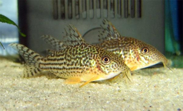 https://upload.wikimedia.org/wikipedia/commons/8/85/Corydoras_haraldschultzi_aquarium.jpg