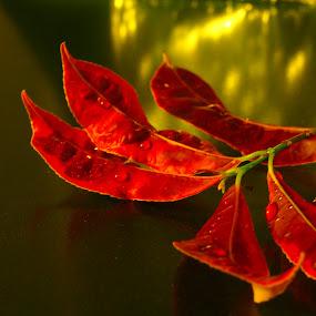 RED LEAVES by Lisawati Gunawan - Nature Up Close Leaves & Grasses ( leaves nature up close )