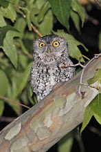 Photo: Whiskered Screech-Owl
