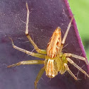 Striped lynx spider(green faced)