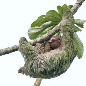 Sloth Above by Phyllis Plotkin - Animals Other Mammals ( tree, green tint, costa rica, sloth, algae, mammal )