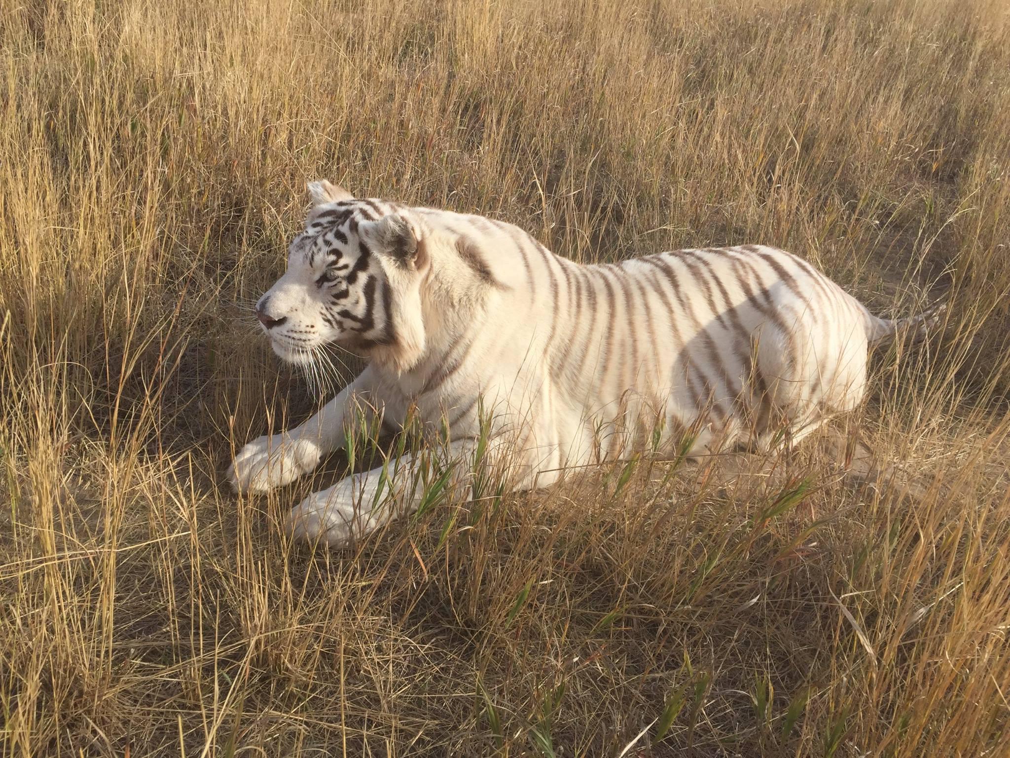 tiger timara The Wild Animal Sanctuary facebook
