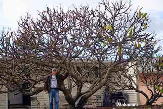 Photo: Type: Makanani Height: 20' approx. Area: Bay Park Age: Planted 1960