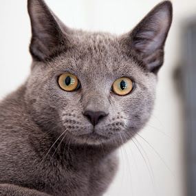 Sleek by Michele Williams - Animals - Cats Portraits ( cat, fur, sleek, whiskas, gray, eyes,  )