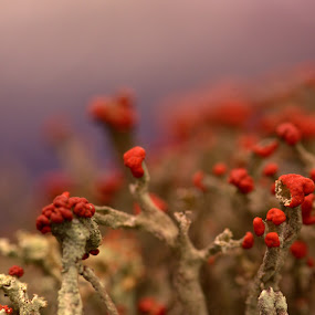 Redcoats by Gabrielle Libby - Nature Up Close Mushrooms & Fungi ( soldier, red, british, moss, lichen )