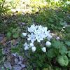 Neapolitan Garlic