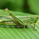 Citrus Locust
