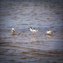 Photo: Bird N°52 - Avocet Latin:- Recurvirostra avosetta  I wanted to put this project to bed with a great bird and it had been a long time since the 52 week part had fallen apart (thanks to my health) so when I photographed a bird that had been extinct in the UK I figured that was the one.  The Avocet is the symbol of the RSPB and a stunning bird, I photographed this one at Cresswell Pools in Northumberland, England.  The Avocet was declared extinct as a breeding bird in the UK in 1842 but began to recover in 1947, colonising areas of wetland on the South and East coasts of England. Until their arrival at Wearside Wetland Trust at Washington in 2006, the nearest breeding pairs were in Teesside and Yorkshire, with fewer than 900 pairs in the UK. In May 2011, two chicks hatched at Northumberland Wildlife Trust's Cresswell Pond reserve, making it the UK's most northerly breeding site.  A true success story for conservation and protection projects.  #avocet  #rspb  #wadingbird  #northumberland #england  #uk  #ukphotographycommunity #ukphotography #nature #bird  #naturephotography #naturephoto #naturemonday #birds4all  #birdloversworldwide #birds #birdsinfocus #birding #birdsgallery #hqsbirds #birdwatching #birdwatcher #birdwatch #conservation  #protection  #birdwatchingtuesday #1000photographers #breakfastclub  #pixelworld #wildlifephotography #wildlife #wildlifephotos  #wildlifephotographers #birdconservation  #wetlandtrusts  #wetlands  #wildlifeconservation  #wildlifepreservation  #birdpreservation