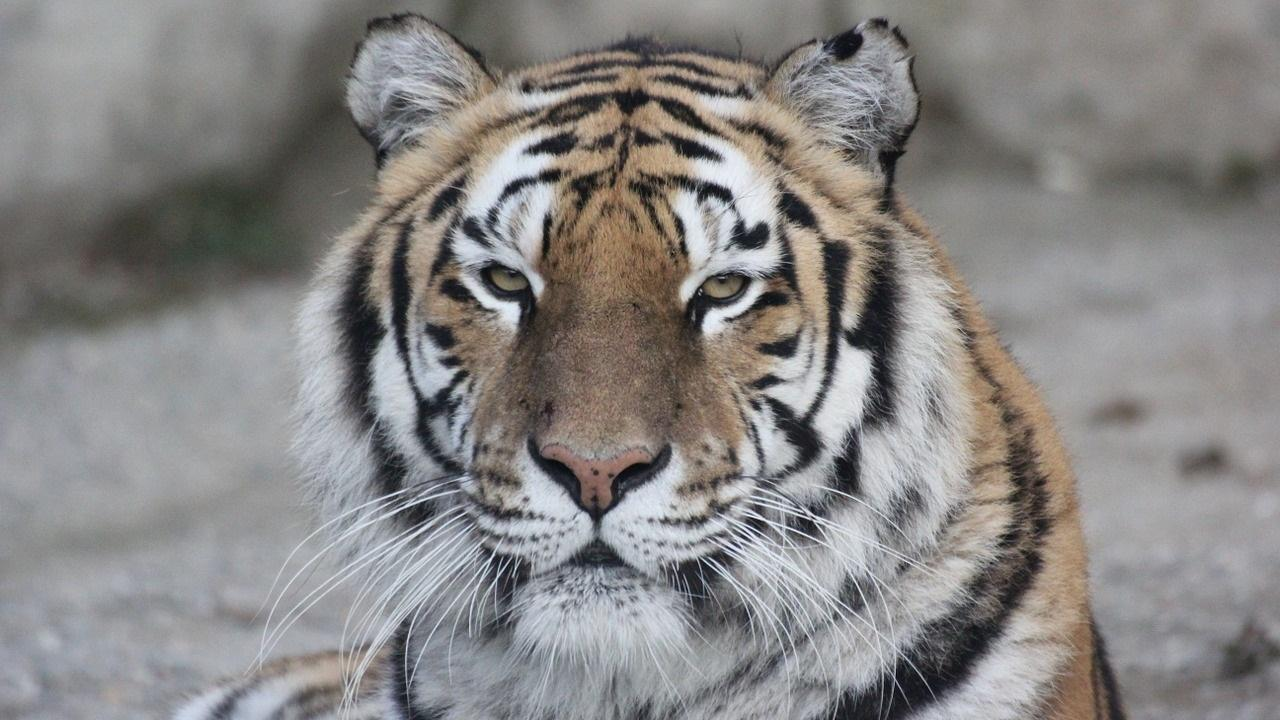 Y Tigers Are Endangered Tiger HD Wallpaper - A...
