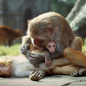 Monkey Family by Gernot Koller - Animals Other Mammals (  )