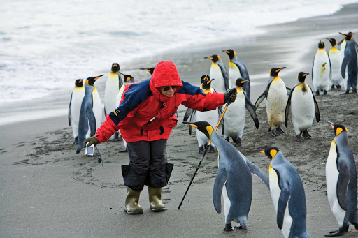gold-harbour-king-penguins.jpg - A visitor greets king penguins during a Lindblad Expeditions tour of Gold Harbour on South Georgia island,