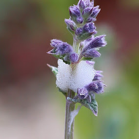 by Michelle Ng - Flowers Flower Gardens ( simple beauty, nature, nature up close, garden, lavender, herb )