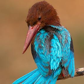 Kingfisher by Jineesh Mallishery - Animals Birds ( bird, indian irds, kingfisher, jineesh, willife )