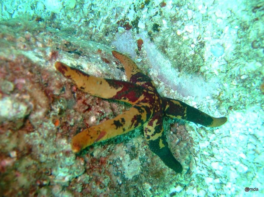Echinaster callosus (Starfish)