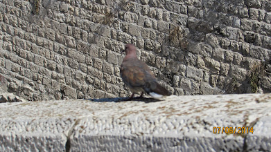 Photo: turtle doves and cats - nice summary of the type of tension you find here in the city....