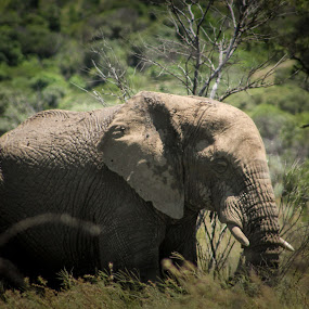 Elephants  by Mariesa Taljaard - Animals Other Mammals ( green, nature, elephants, elephant, grey,  )