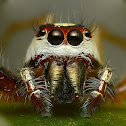 Two-striped Jumper