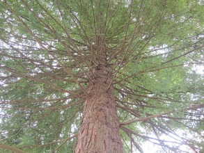 Photo: Apollo Moon Tree: Redwoods! (Sequoia sempervirens), planted in 1974