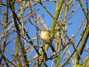 Photo: Priorslee Lake Today's Chiffchaff to compare with the Willow Warbler. A relatively 'bland' expression and indistinct supercilium. (Ed Wilson)