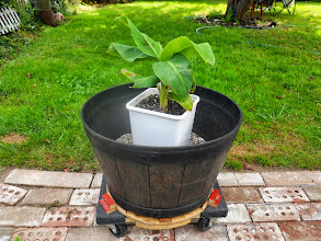 Photo: My Cavendish's new pot I set up for him.http://paulsbananaplantation.blogspot.com/2013/08/cavens-mobile-home.html