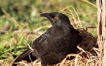 Photo: White-winged Chough