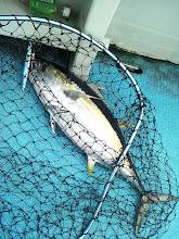 Photo: 今日は、夜タキのイサキ釣りですが・・・ジギングでシャクったら、キハダきちゃった❤6kgぐらいです。