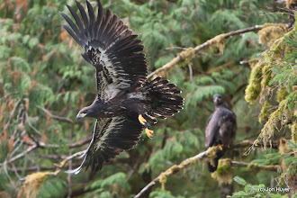Photo: Photographing them in flight is a real challenge.  This one managed to work out fortunately.