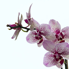Orchid by Caitlin Scroggins - Nature Up Close Flowers - 2011-2013 ( orchid, flower )